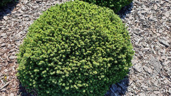 Eglė baltoji Picea glauca Alberta globe