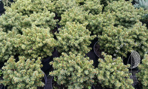 Eglė paprastoji Picea abies Little Gem