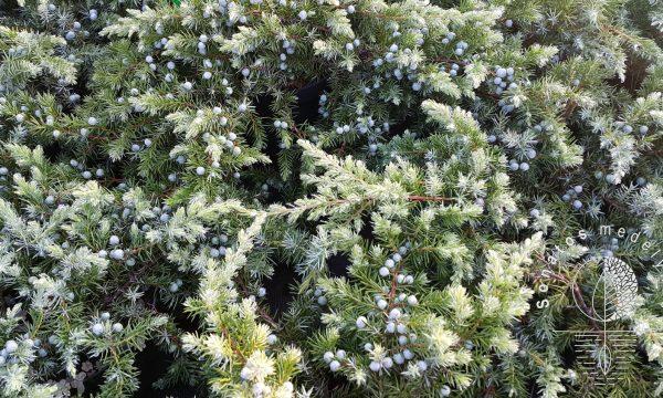 Kadadys pajūrinis Juniperus conferta Schlager