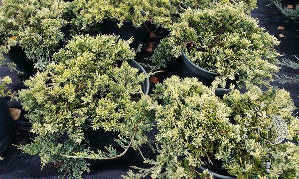 Kadagys padrikasis Juniperus horizontalis Golden carpet