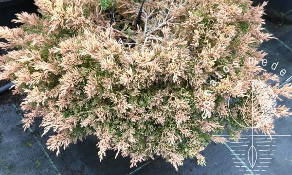 Kadagys padrikasis Juniperus horizontalis Lime Glow