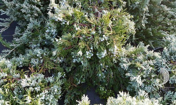 Kadagys padrikasis Juniperus horizontalis Wiltonii