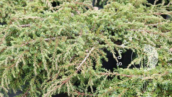 Kadagys paprastasis Juniperus communis Green Carpet