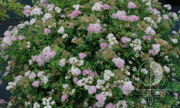 Lanksva-japonine-spiraea-japonica-little-princess