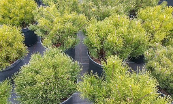 Pušis kalninė Pinus mugo var. pumilio