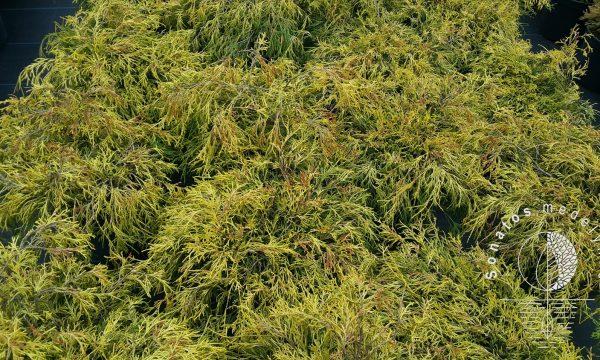 Puskiparisis žirniavaisis Chamaecyparis pisifera Filifera aurea nana