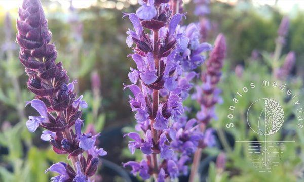 Salavijas gojinis Salvia nemorosa Ostfriesland ziedai
