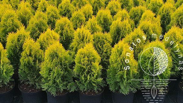 Tuja vakarinė Thuja occidentalis Golden Smaragd