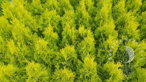 Tuja vakarinė Thuja occidentalis Golden smaragd vazonai