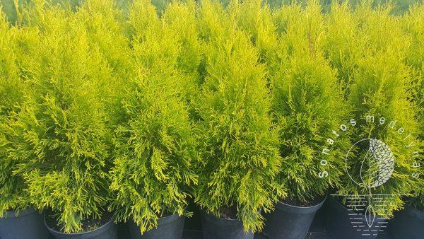 Tuja vakarinė Thuja occidentalis Golden smaragd vazonai C2