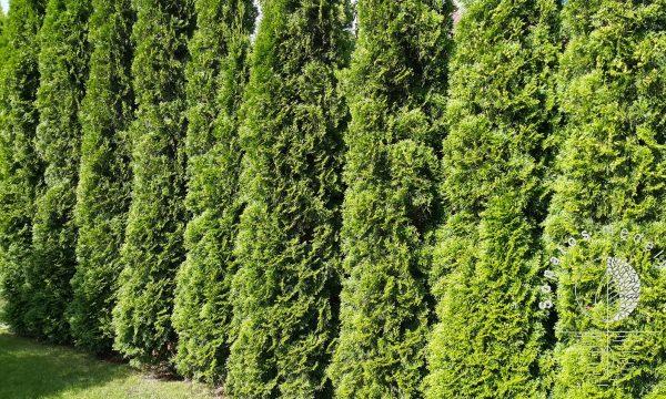 Tuja vakarinė Thuja occidentalis Smaragd gyvatvorei sodinukai gera kaina