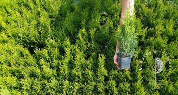 Tuja vakarinė Thuja occidentalis Smaragd gyvatvorei sodinukai vazonuose gera kaina