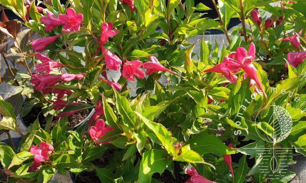Veigelė gražiažiedė Weigela florida Bristol ruby