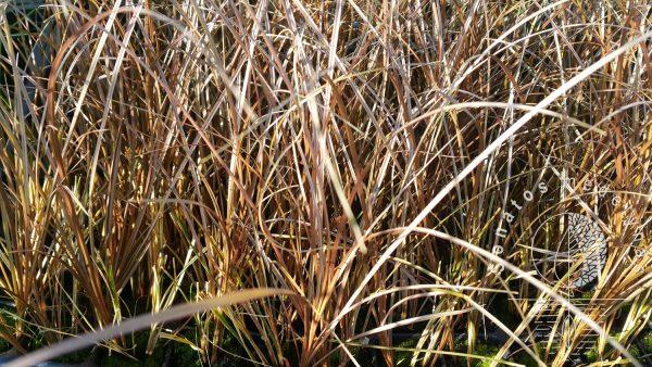 Viksva Carex petriei Bronze form