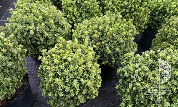 Eglė baltoji Picea glauca Dendrofarma Gold