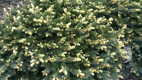 Eglė dygioji Picea pungens Bialobok