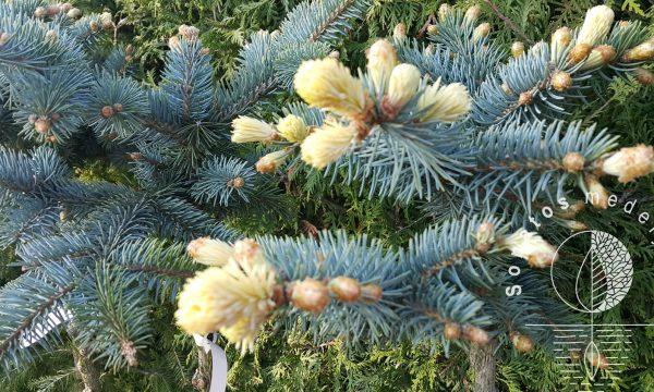 Eglė dygioji Picea pungens Bialobok Pa