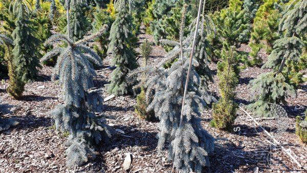 Eglė dygioji Picea pungens Glauca Pendula