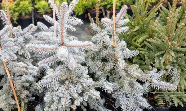 Eglė dygioji Picea pungens Glauca Pendula vazone