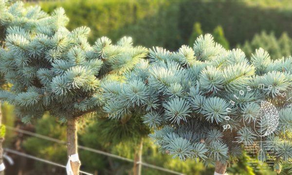 Eglė dygioji Picea pungens Nidiformis Kalous