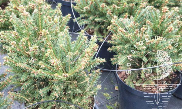 Eglė paprastoji Picea abies Barryi