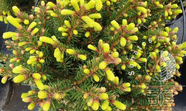 Eglė-paprastoji-Picea-abies-Barryi-pavasaris.
