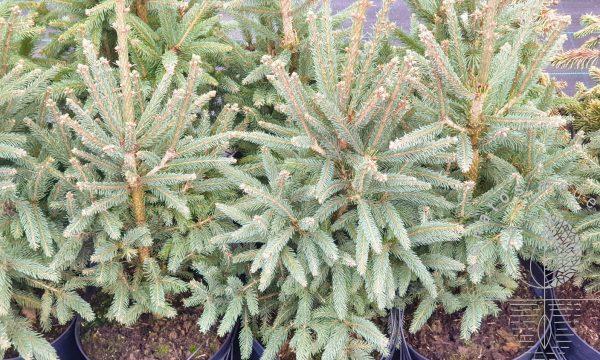 Eglė paprastoji Picea abies Cupressina vazone