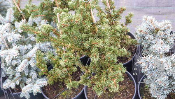 Eglė paprastoji Picea abies Lombartsii vazone