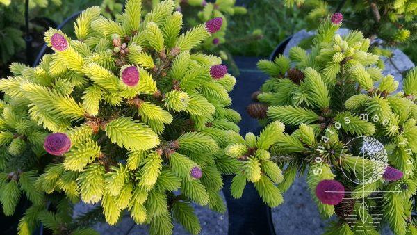 Eglė paprastoji Picea abies Push