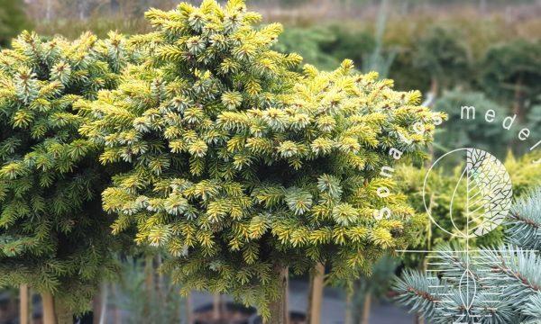Eglė serbinė Picea omorika Peve Tijn Pa