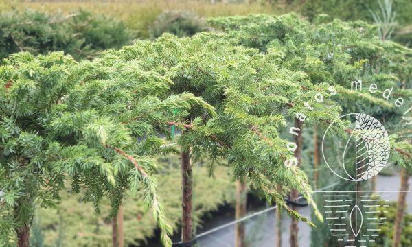 Kadagys pajūrinis Juniperus conferta Schlager Pa