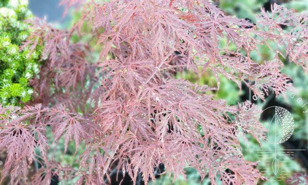 Klevas plaštakinis Acer palmatum Garnet