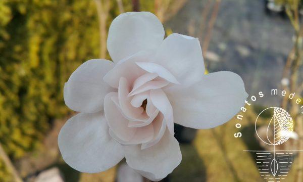 Magnolija zvaigzdinė Magnolia stelatta Alixeed