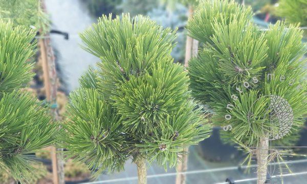 Pušis-baltažievė-Pinus-heildreichii-Keule-2-Pa