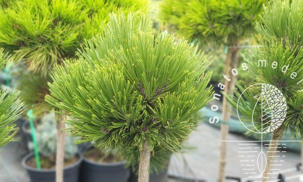 Pušis baltažievė Pinus heildreichii Smidtii Pa