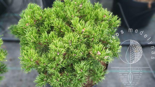 Pušis hondinė Pinus densiflora Edsal Wood