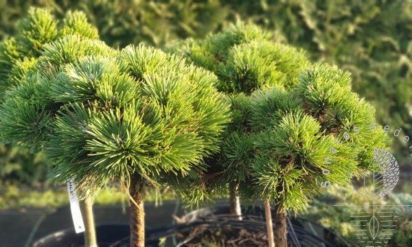 Pušis juodoji Pinus nigra Vasula Pa