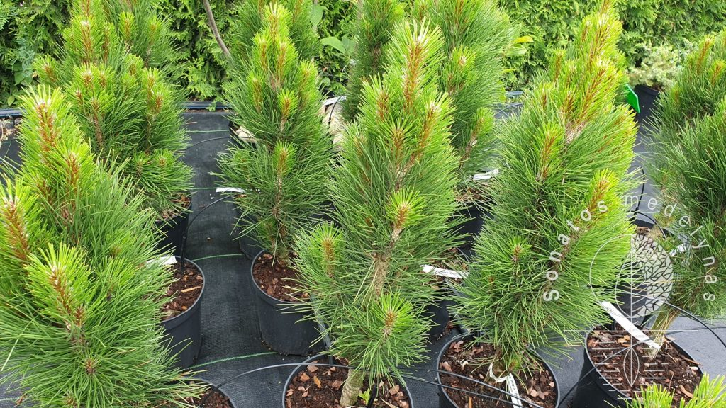 Pušis juodoji Pinus nigra Zimmer