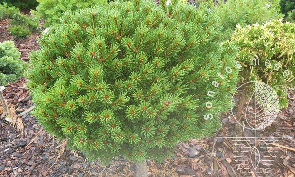 Pušis-kalninė-Pinus-mugo-Benjamin-Pa.