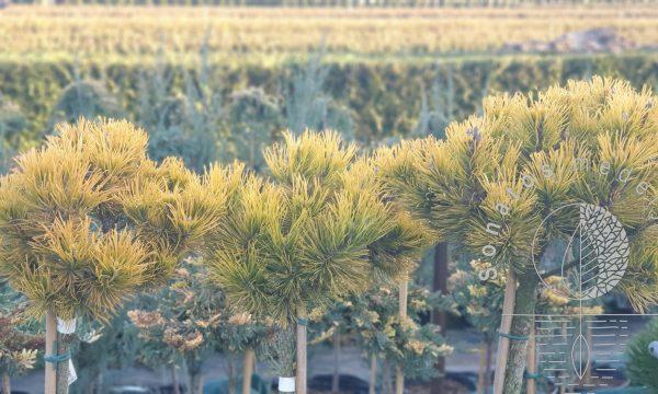 Pušis kalninė Pinus mugo Carsten syn Carsten's Wintergold Pa