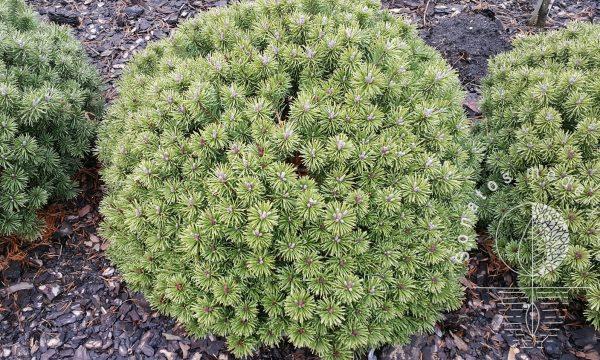 Pušis kalninė Pinus mugo Ofenpass