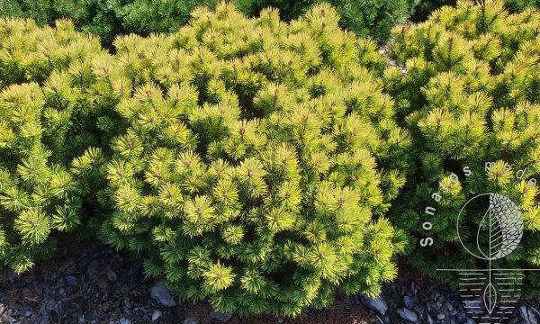 Pušis kalninė Pinus mugo Ophir