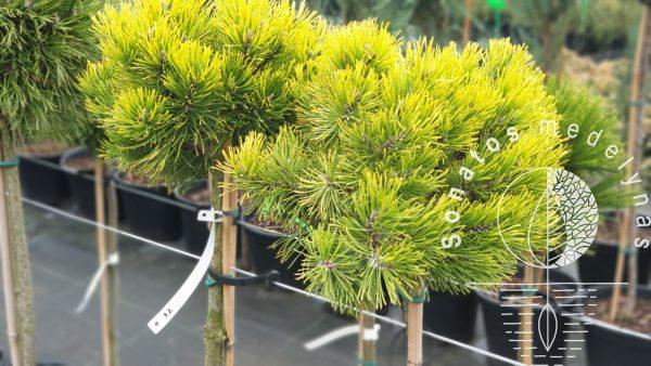 Pušis kalninė Pinus mugo Ophir Pa