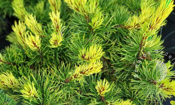 Pušis kalninė Pinus mugo Rositech