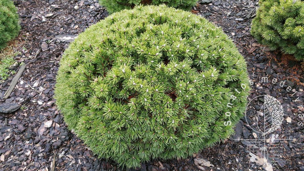 Pušis kalninė Pinus mugo Saturn