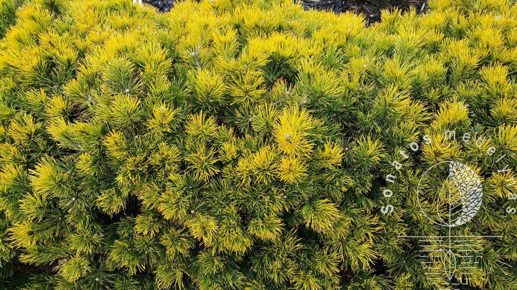 Pušis kalninė Pinus mugo Winter Gold