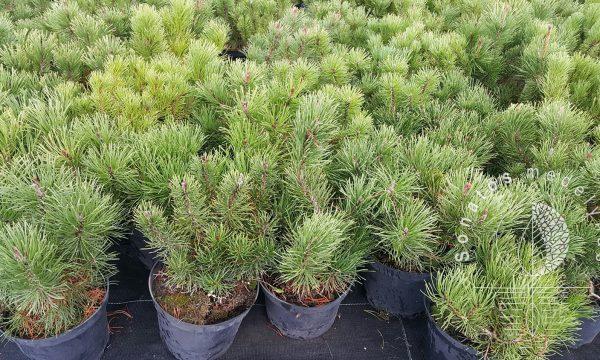 Pušis kalninė Pinus mugo var. mughus