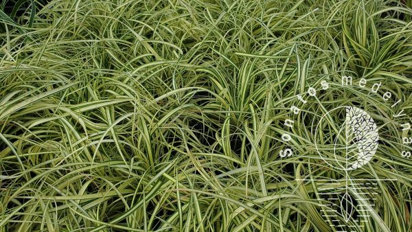 Viksva Carex oshimensis Evergold
