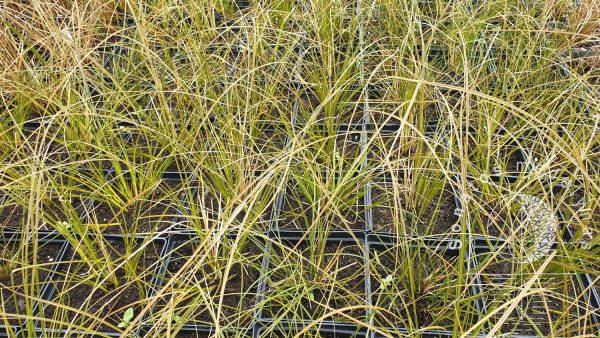 Viksva Carex petriei Prairrie Fire Old Gold