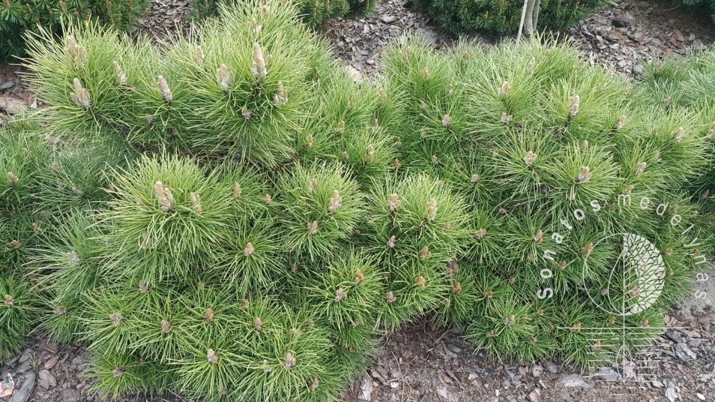 Pušis juodoji Pinus nigra Chinto